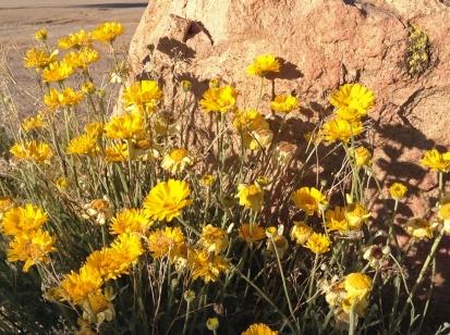 Bright Bailyea or desert marigold.