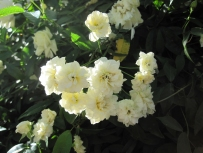 Lady Banksia roses.
